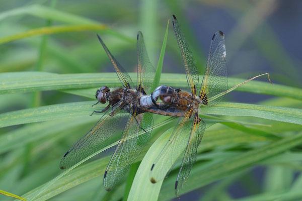 Spitzfleck Paar