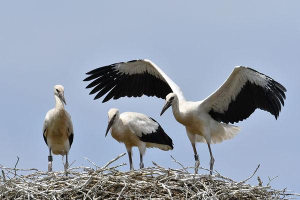 Weißstorch Jungvögel am Nest
