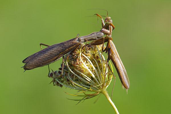 Gottesanbeterin Paar, Weibchen frisst Männchen nach der Paarung