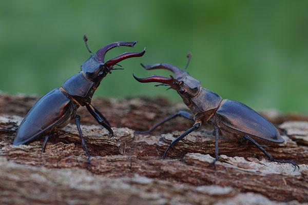 Hirschkäfer Männchen Kampf