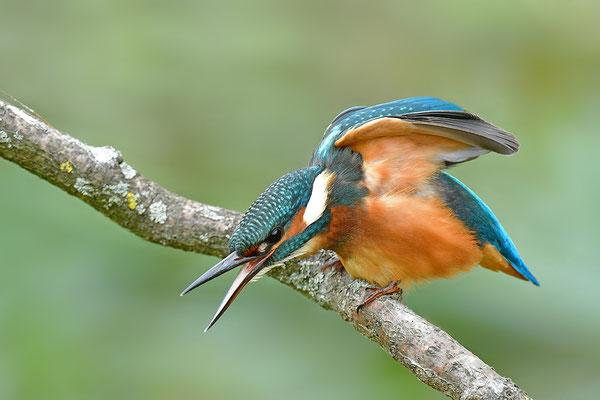 Eisvogel Weibchen