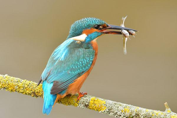 Eisvogel mit Doppelfisch