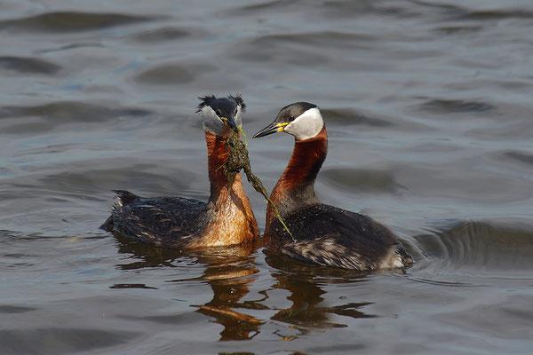Rothalstaucher Paar