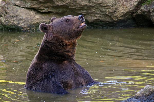Braunbär im Wasser, Nationalpark Bayrischer Wald Tierfreigelände Neuschönau