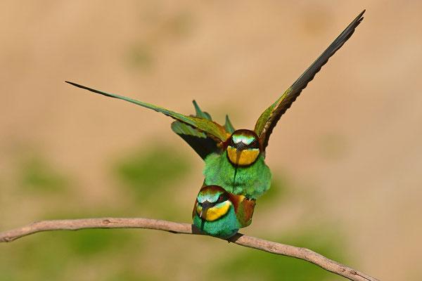 Bienenfresser Paarung