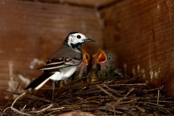 Bachstelze am Nest
