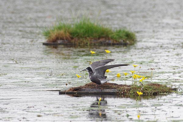 Trauerseeschwalbe am Nest