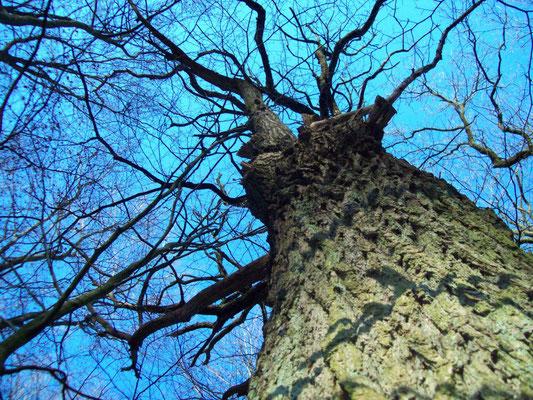 Kahle Bäume im winterlichen Wald vor blauem Himmel