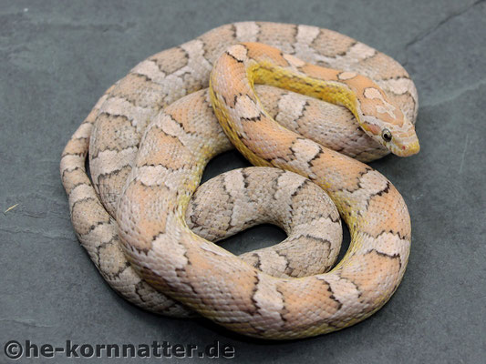 Ghost het.Sunkissed Striped
