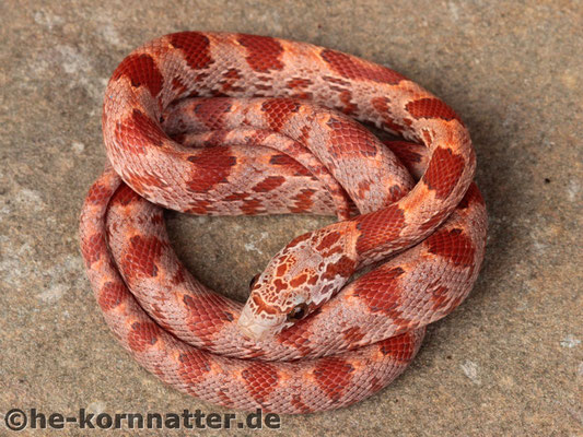Hypo Sunkissed Blood (Female)