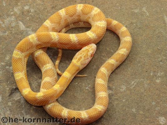 Saffron (Amel Caramel Sunkissed)
