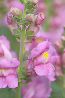 Löwenmäulchen rosa
