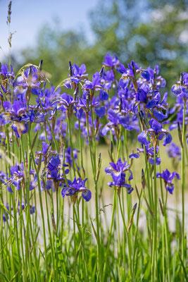 Schwertlilie blau 1