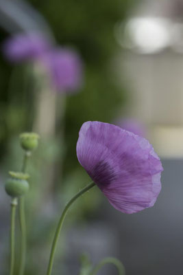 Mohn lila