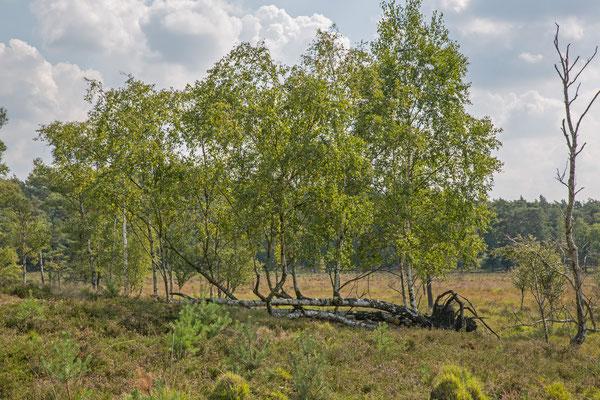 Birken in der Heide