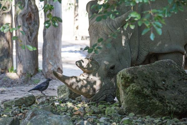 Nashorn mit Dohle