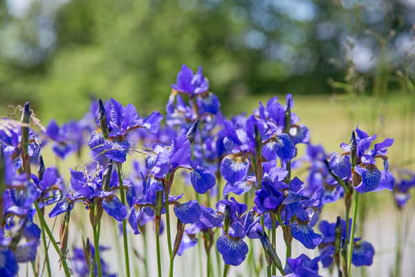Schwertlilie blau 2