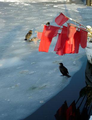 Kormoran auf Eis