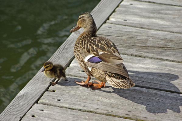 Entenfamilie im Hafen