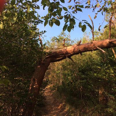 台風?で、こんな立派な木も折れてしまっています