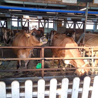 牛 お食事タイムでした。 奥に子牛が。ジャージー牛ほんと可愛いですね