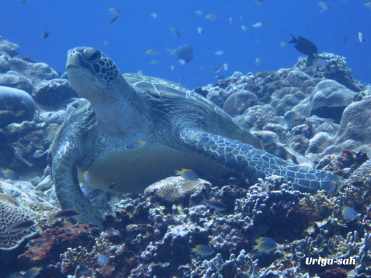 石垣島 ダイビングショップ 潜人(うりやーさー)アオウミガメ