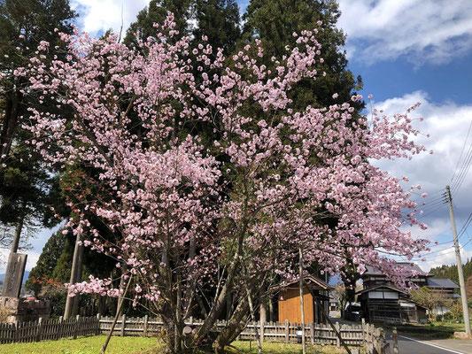 200411野中の桜001