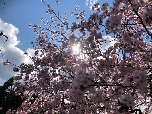 200411野中の桜002