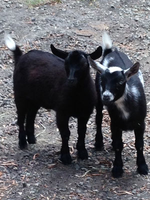 Nigerian Dwarf goats for dairy and show