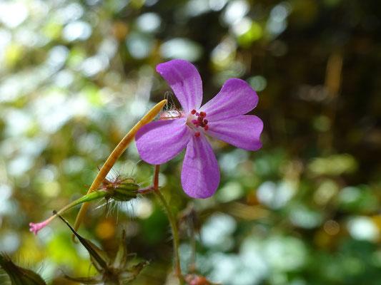 Blume Annika