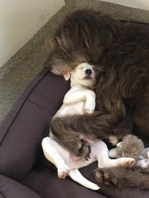 Aura mit ihrer neuen Pudelpointer Freundin Coco