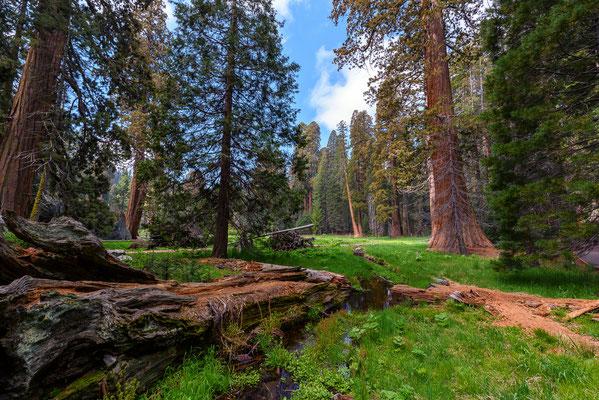 Sequoias -  Sequoia NP, Kalifornien