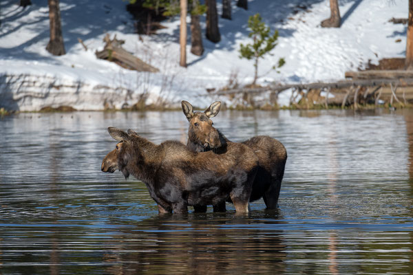 Elchkühe im Rocky Mountain National Park