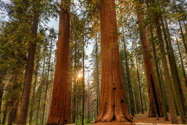 Sequoias im Gegenlicht -  Sequoias NP, Kalifornien