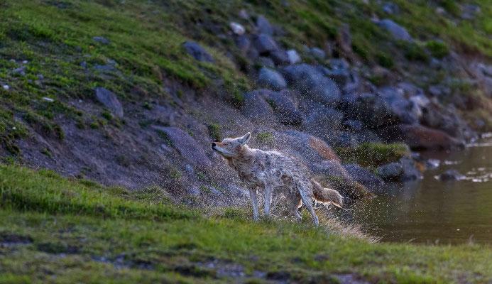 Shaking coyote im Yellowstone
