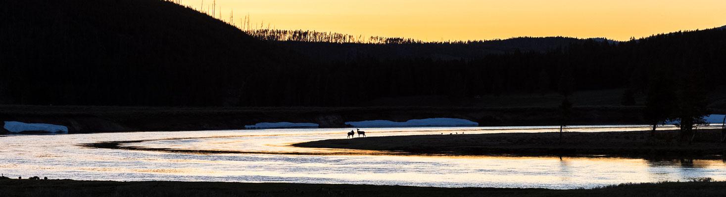 2 Wapitikühe nach Sonnenuntergang am Yellowstone River - Yellowstone NP, Wyoming