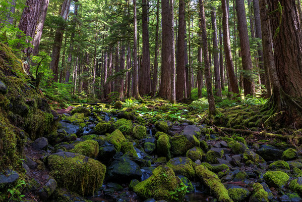gemäßigter Regenwald in Washington State