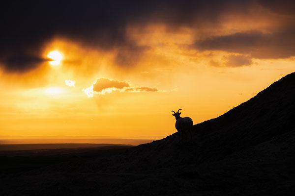 Bighorn im Sonnenuntergang