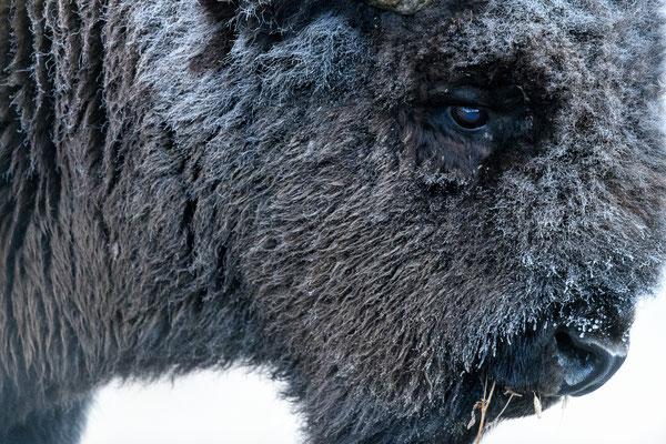 The frozen Bison
