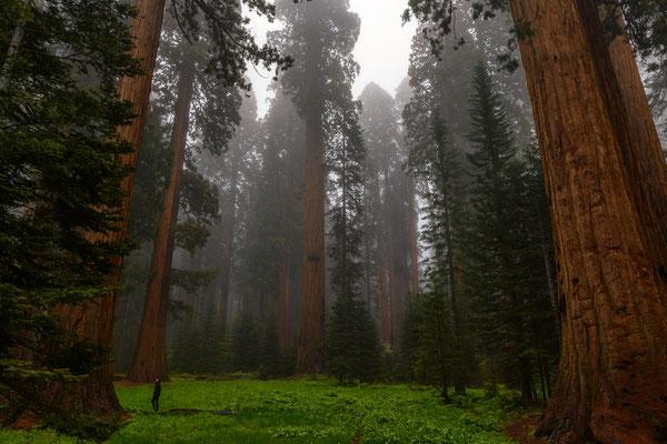 Sequoias im dichten Nebel -  Sequoia NP, Kalifornien