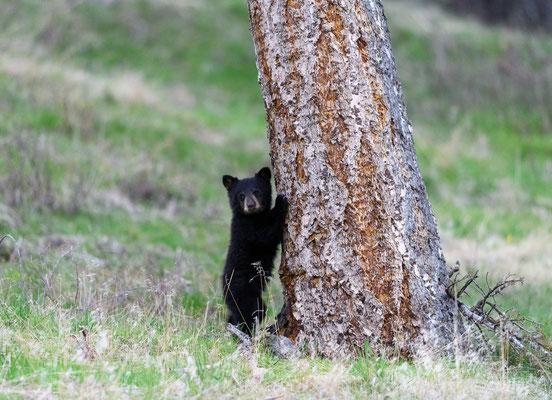 kleiner Schwarzbär im Yellowstone