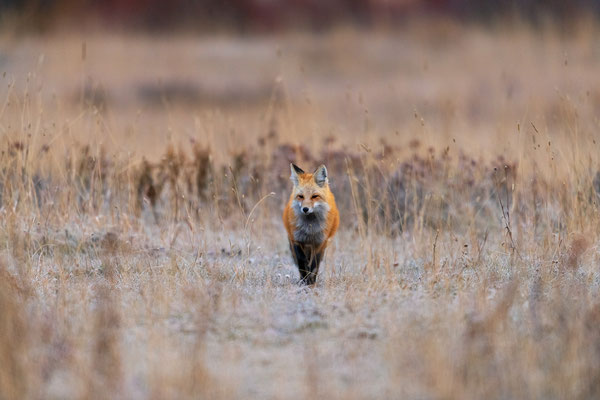 Rotfuchs auf der Jagd in Wyoming