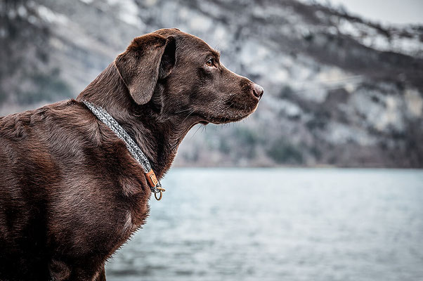 Sterling sailor Tau Halsband von Isartau, Labrador am See fotografiert von der Hundefotografin Monkeyjolie