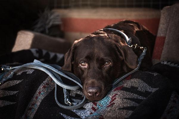 Taubenblaue Fettleder Leine von Molly & Stitch, Brauner Labrador liegt auf einer Decke fotografiert von Monkeyjolie