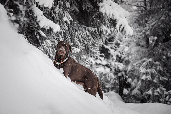 Sterling sailor Tau Halsband von Isartau, Labrador im Schnee fotografiert von der Hundefotografin Monkeyjolie