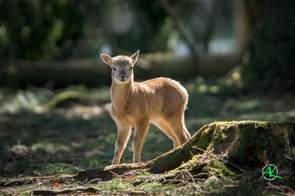 Baby Mufflon im Wald