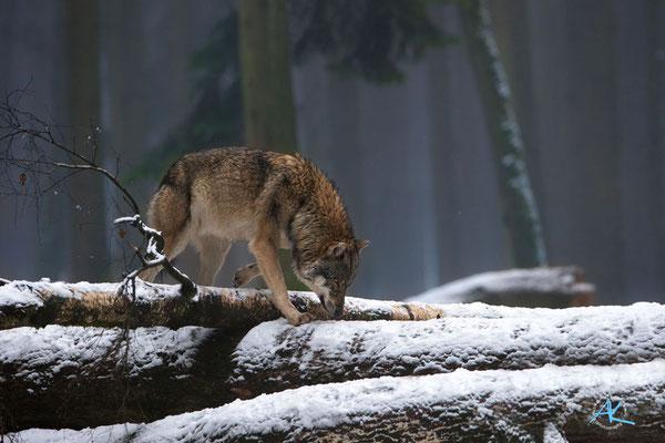 Wolf im Winterwald