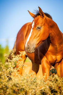 Hengstfohlen - Azienda Termine - Marion Mueller Quarterhorses