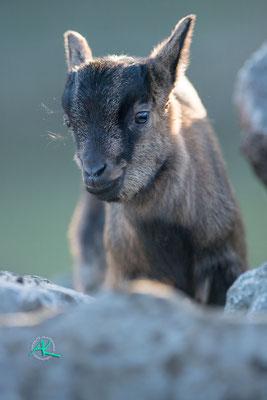 Baby Ziege übt sich im klettern