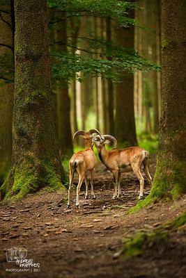 Junge Mufflon Widder im Wald
